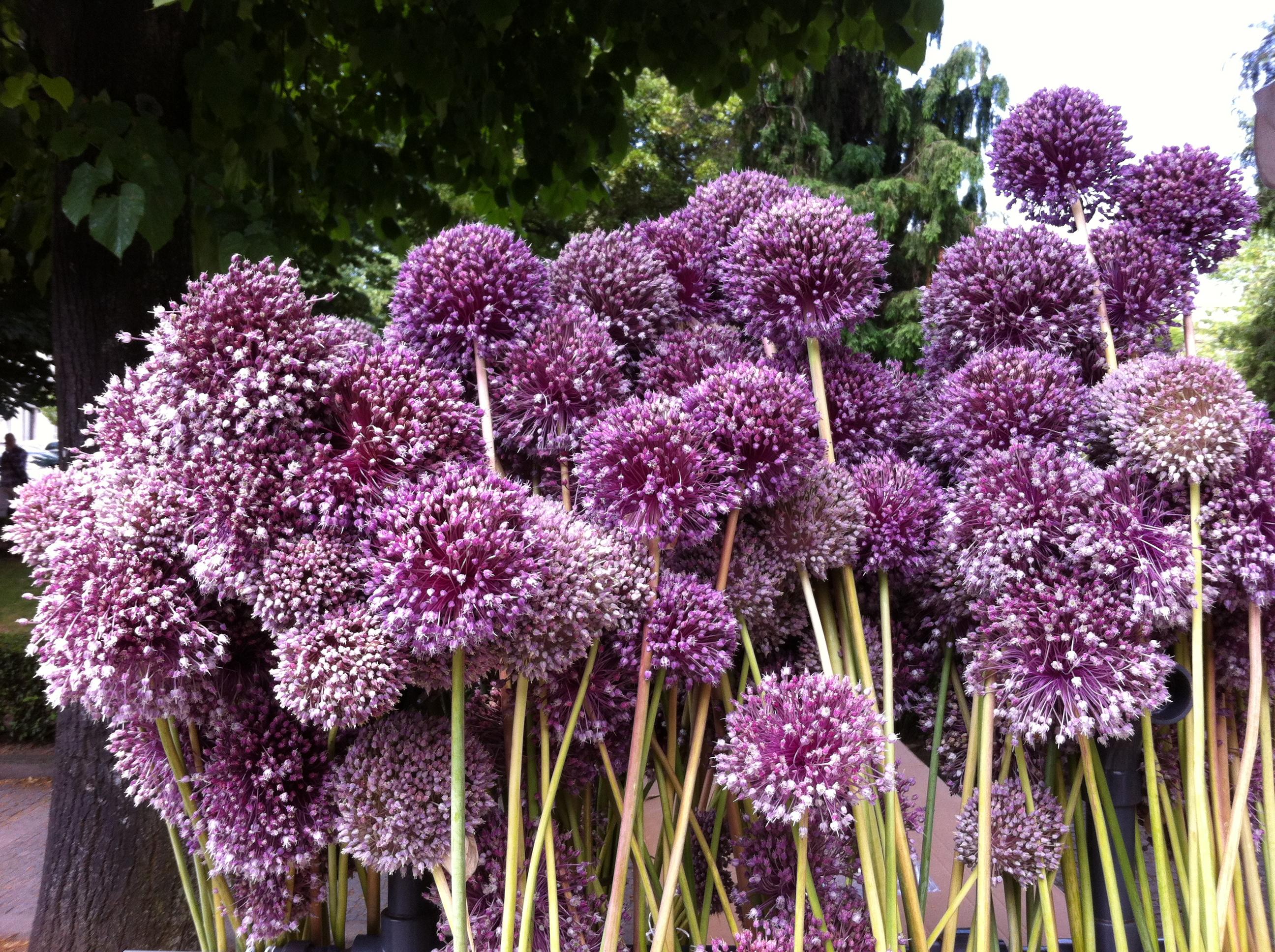 São João Garlic flowers