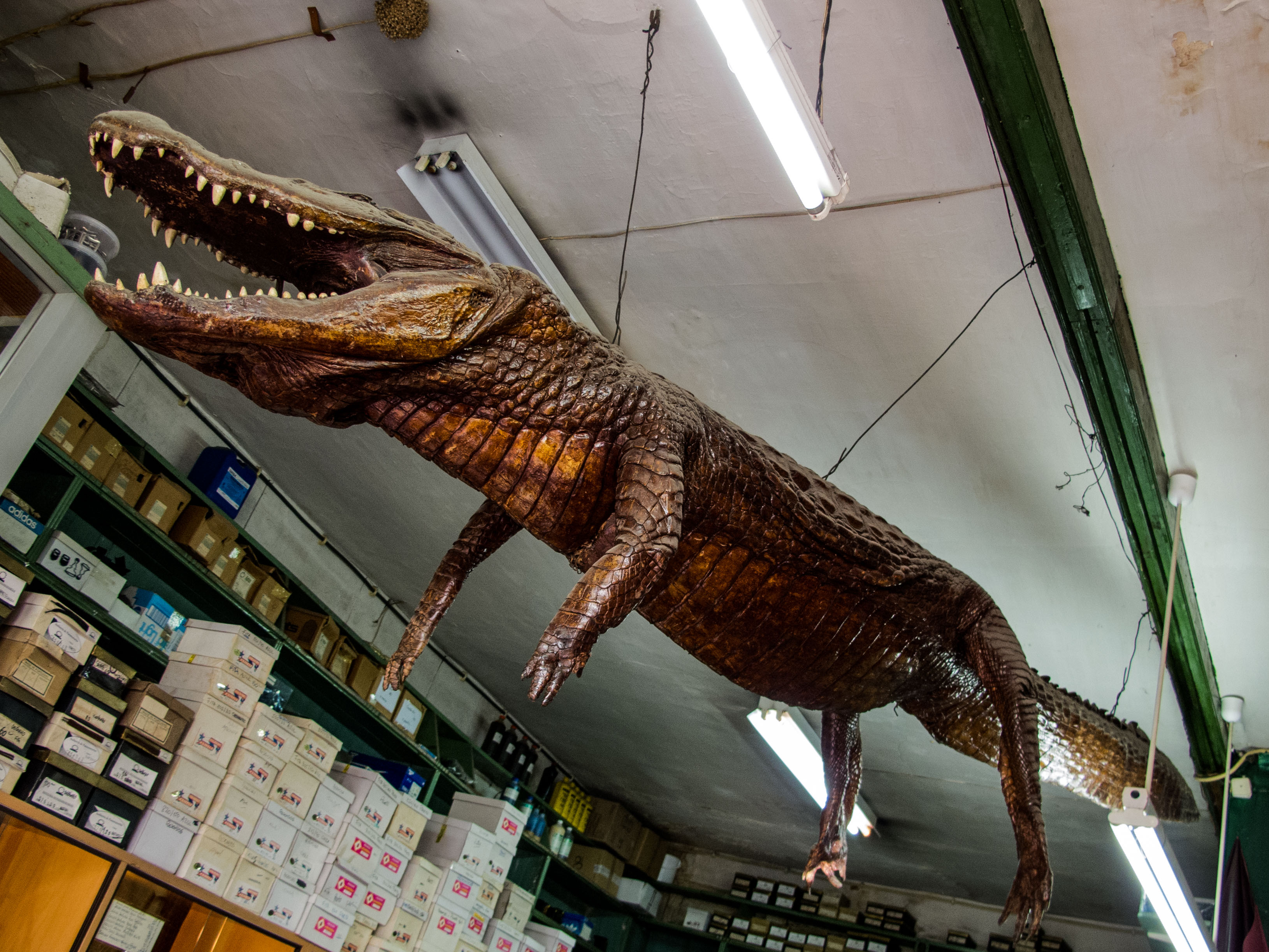 A three meter crocodile, hanging on the shop's ceiling.